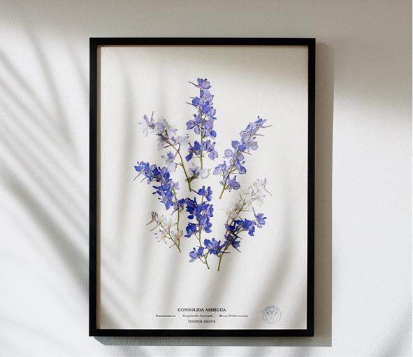 Dauphinelle Consoude Violette Premier Amour